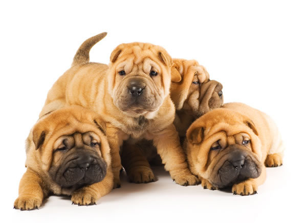 Shar-Pei-puppy-3-picture